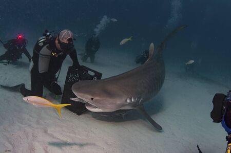 sand shark: Tiger Shark