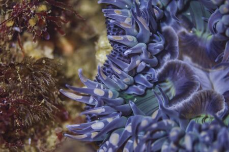 Close Up of a Blue Anemone Foto de archivo - 99337785