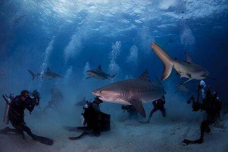 Tiger Shark Foto de archivo - 99370083