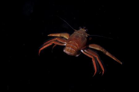 A pelagic crab swimming in the water column to avoid predators Foto de archivo - 101643499