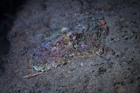 A two spot octopus trying to camofluge itself on a rock Foto de archivo - 101330829