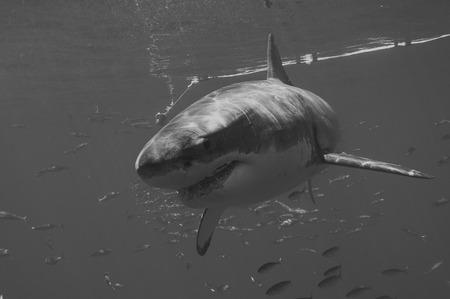 Great White Shark Foto de archivo - 108802393