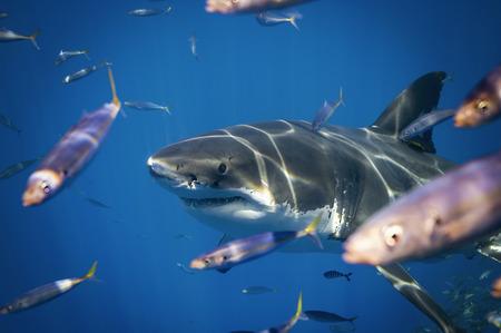 Great White Shark Foto de archivo - 113823248