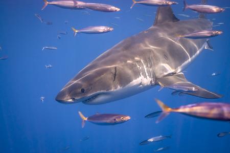 Great White Shark Foto de archivo - 113823262