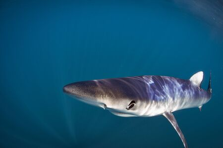 Blue sharks are light-bodied with long pectoral fins. Like many other sharks, blue sharks are countershaded: the top of the body is deep blue, lighter on the sides, and the underside is white. ... The blue shark is also ectothermic and it has a unique sense of smell.