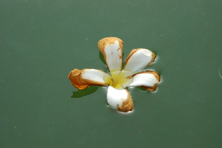 Old plumeria flowers in the water. photo
