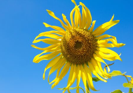 sun flower with blue sky in thailand photo