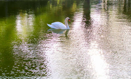tranquilly: Swan at lake Stock Photo