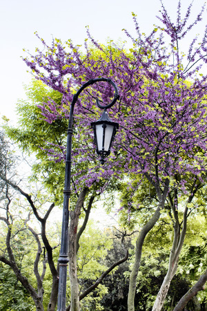 redbud: Street lamp and Redbud tree at park in Istanbul Stock Photo