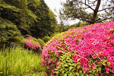 View of azalea in Shinjuku garden in Tokyo