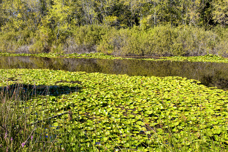 Many water lilies (Nymphaea) at Acarlar floodplain forest. Located in Sakarya Province, northwestern Turkey. The plant is a genus of hardy and tender aquatic plants in the family Nymphaeaceae. Stock Photo