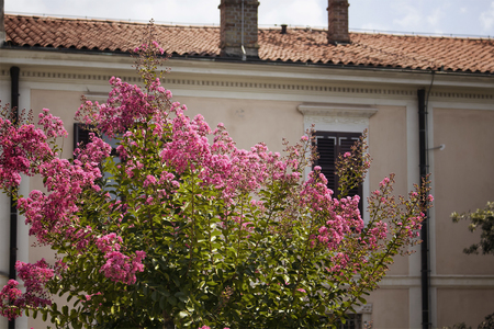 Pink clolor flowers with old, historical building in the background in Koper  Slovenia. It is a port city in Slovenia, on the countrys Adriatic coastline.