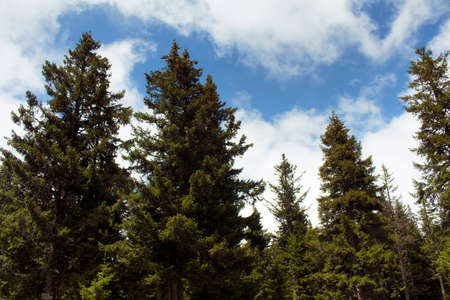 View of many pine trees in mountain forest. The image is captured in Trabzon/Rize area of Black Sea region located at northeast of Turkey.