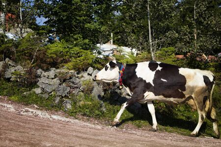 View of a black and white cow climbing on a road. The image is captured in Trabzon/Rize area of Black Sea region located at northeast of Turkey.