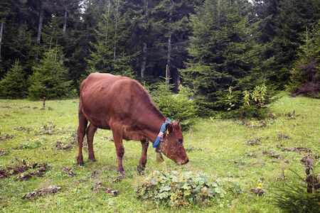 View of a cow grazing on grass field with pine tree forest at high plateau. The image is captured in Trabzon/Rize area of Black Sea region located at northeast of Turkey. Stock fotó