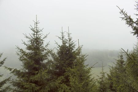 View of forest pine trees and beautiful nature in fog. The image is captured in Trabzon/Rize area of Black Sea region located at northeast of Turkey.