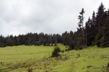 View of a grass field with pine tree forest at high plateau. The image is captured in Trabzon/Rize area of Black Sea region located at northeast of Turkey.