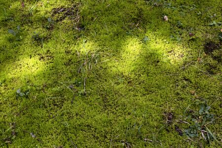 Top view of mountain moss spreading on the ground. The image is captured in Trabzon/Rize area of Black Sea region located at northeast of Turkey.