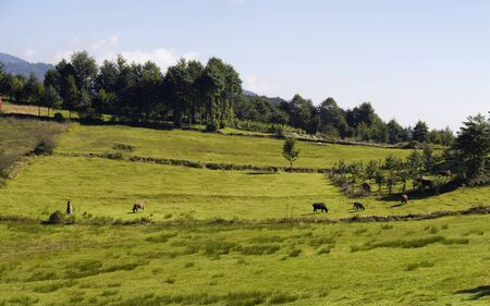 View of a traditional woman, cows, trees and grass field at high plateau reflecting culture. The image is captured in Trabzon/Rize area of Black Sea region located at northeast of Turkey.