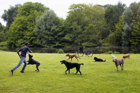 View of dog watcher play with dogs on grass field, pond, trees at Vondelpark in Amsterdam. It is a public urban park of 47 hectares. It is a summer day.