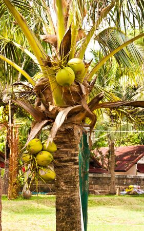 Many green coconut at tree in a garden