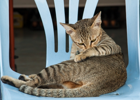 misbehave: Cat is ducked on  a blue chair. Stock Photo