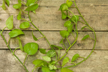 green betel leaf on wooden floor  photo