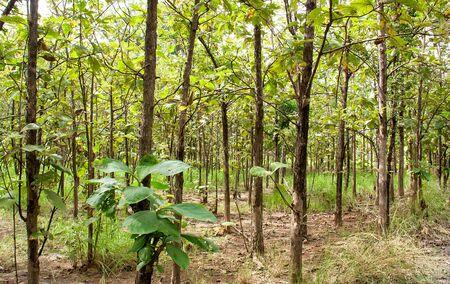 Teak trees in an agricultural forest, Phetchabun, Thailand