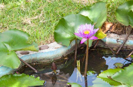 Blooming violet lotus in tub on ground