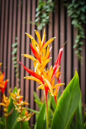 Heliconia flowers photo