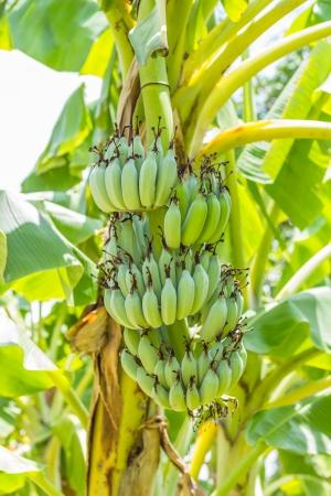 Green bananas on tree photo