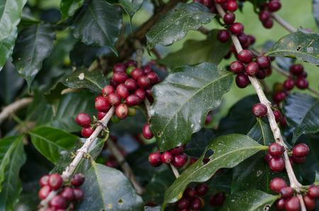 arbol de cafe: Maduraci�n de los granos de caf� en un �rbol de caf�