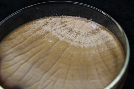 agar: Brown fungi or mold contaminate on agar plate (petri dish). fungi or mold contamination. fungi or mold grow on yeast extract peptone dextrose agar plate.
