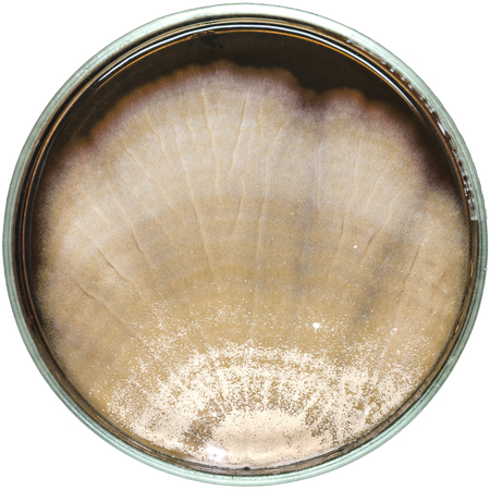 contaminate: Brown fungi or mold contaminate on agar plate (petri dish). fungi or mold contamination. fungi or mold grow on yeast extract peptone dextrose agar plate.
