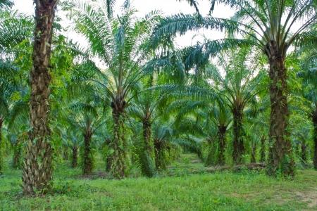 palm oil plantation: palm garden