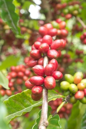 coffee tree: coffee tree