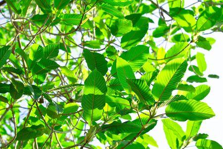 plant drug: mitragyna speciosa korth (kratom) a drug from plant to a category 5 in thailand