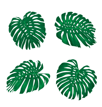 monstera: Set of tropical leaves isolated on white,Monstera leaves. Illustration