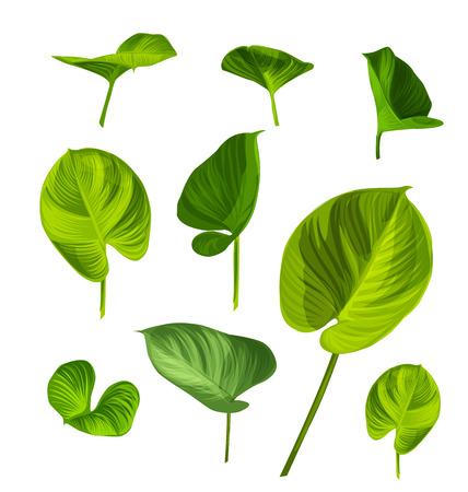 herbaceous: Illustration of   Araceae leaf set