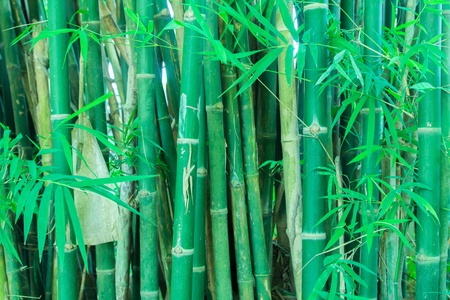 Fresh and contrasting shades of green in a dense bamboo grove