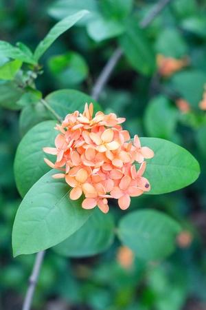 Cor laranja flor Ixora no jardim