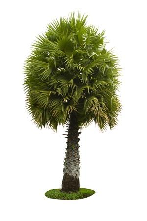 cambodian palm: Borassus flabellifer, conosciuto con diversi nomi comuni, tra cui Asian Palmyra palma, Toddy palma, zucchero di palma, o di palma cambogiano, albero tropicale della Thailandia isolato su sfondo bianco.