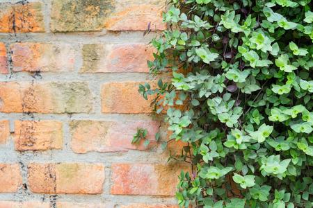 creeping plant: ornamental plants on brick wall