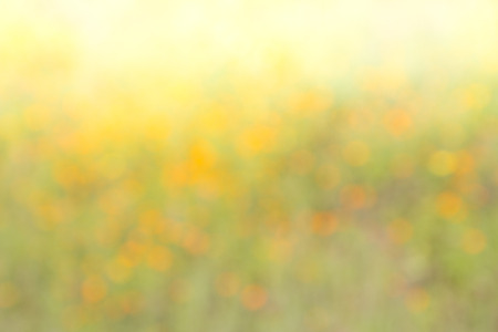 Blurred Yellow cosmos flower, nature background photo