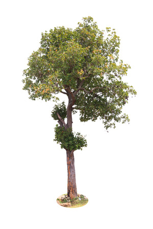 흰색 배경에 고립 낙 엽 나무 스톡 콘텐츠 - 40844107