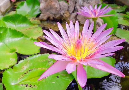 pink lotus: pink lotus on lotus garden