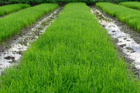genetically engineered: Seedling for planting of Farmer in Chiang Mai, Thailand. Stock Photo
