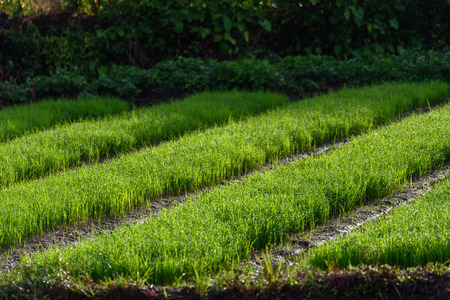genetically engineered: Rice farming of Farmer in Chiang Mai,Thailand.