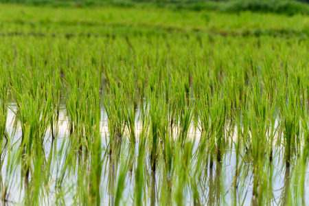 genetically engineered: Rice growing in Chiang Mai, Thailand.