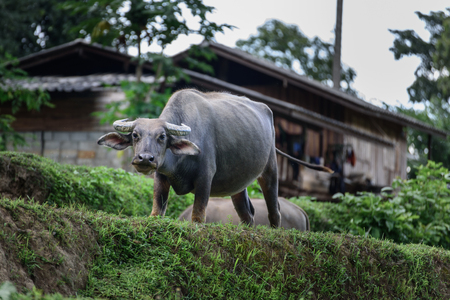 villagers: Buffalo of the villagers in northern Thailand. Stock Photo